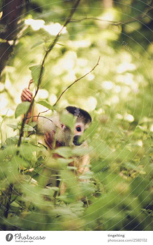 versteckt Natur Landschaft Pflanze Sonne Sommer Schönes Wetter Baum Sträucher Blatt Grünpflanze exotisch Wald Urwald Tier Wildtier Tiergesicht Fell Zoo