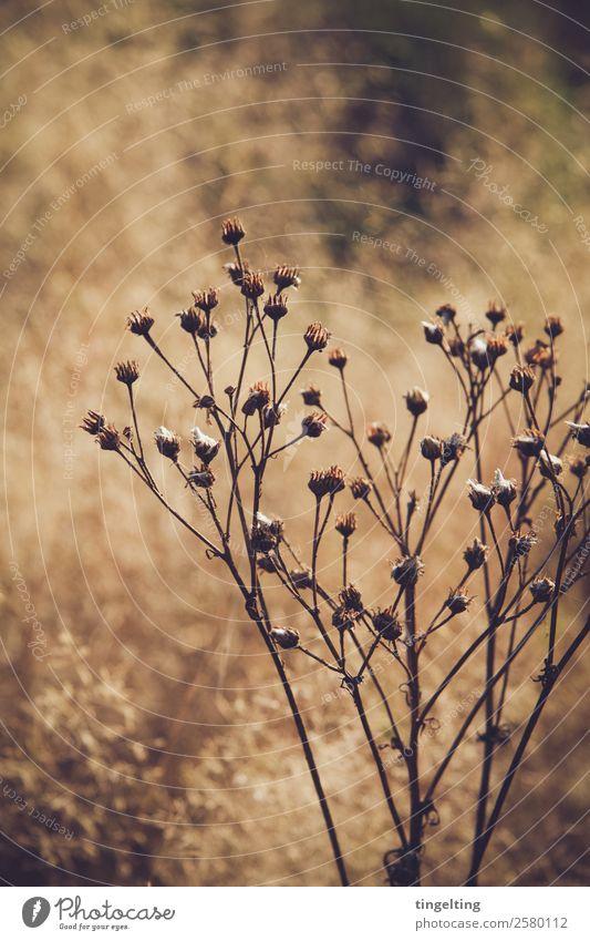 trocken Umwelt Natur Landschaft Sonnenlicht Schönes Wetter Pflanze Wildpflanze Wiese Feld Blühend leuchten verblüht dehydrieren braun gelb gold grün schwarz