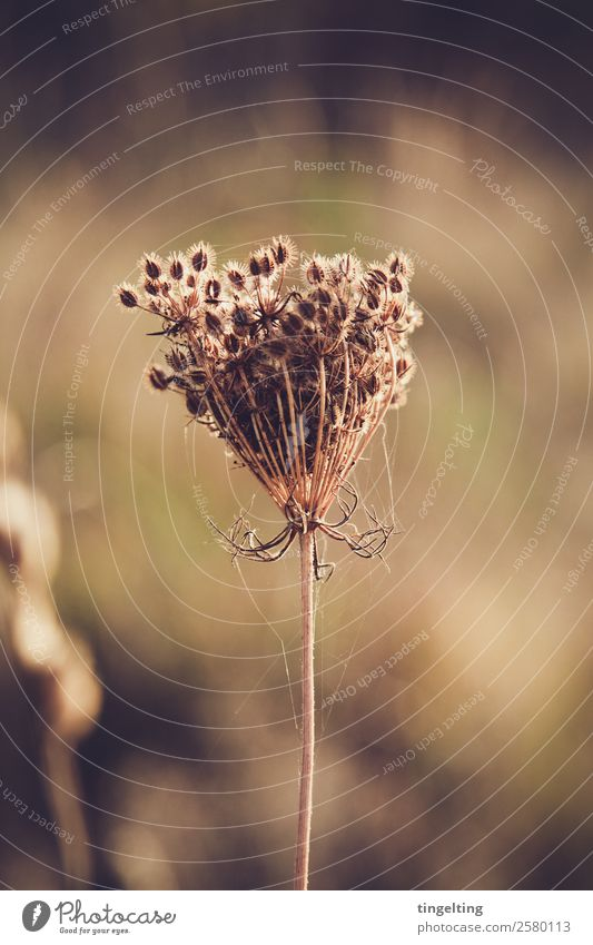 Unkraut vergeht nicht Umwelt Natur Pflanze Dürre Wildpflanze Wiese Feld nah trocken braun grün Spinnennetz Kugel Samen vertrocknet verblüht stachelig Farbfoto