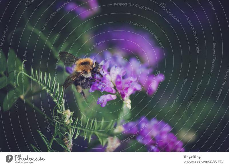 sammeln Natur Pflanze Blume Blatt Blüte Wildpflanze Wiese Feld Tier Wildtier Flügel Blühend Duft entdecken fliegen grün violett orange Biene Sammlung flauschig