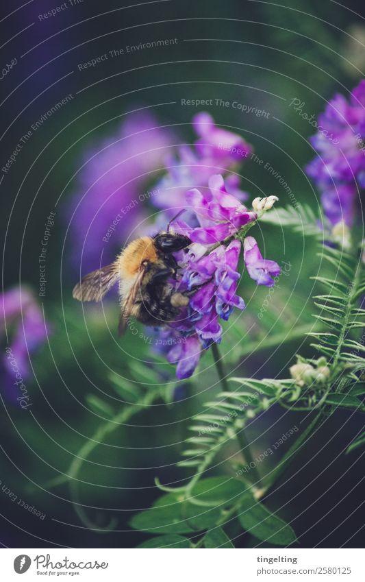 sammeln Natur Pflanze Blume Sträucher Blatt Blüte Wildpflanze Wiese Feld Wald Tier Wildtier Biene Flügel Blühend grün violett orange Sammlung Honig weich nah