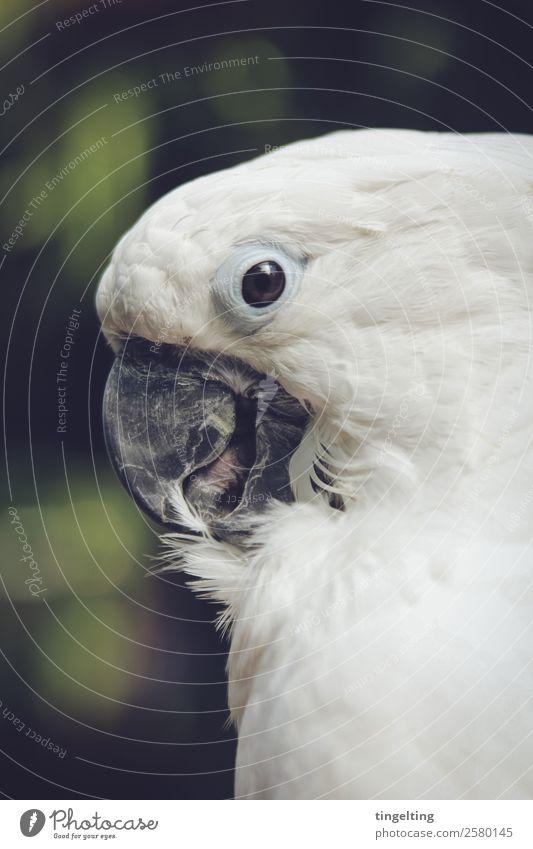 putzt sich Tier Haustier Wildtier Vogel Flügel 1 grün weiß Papageienvogel Kakadu Schnabel Zunge Auge Reinigen nah friedlich Metallfeder Profil weich Farbfoto