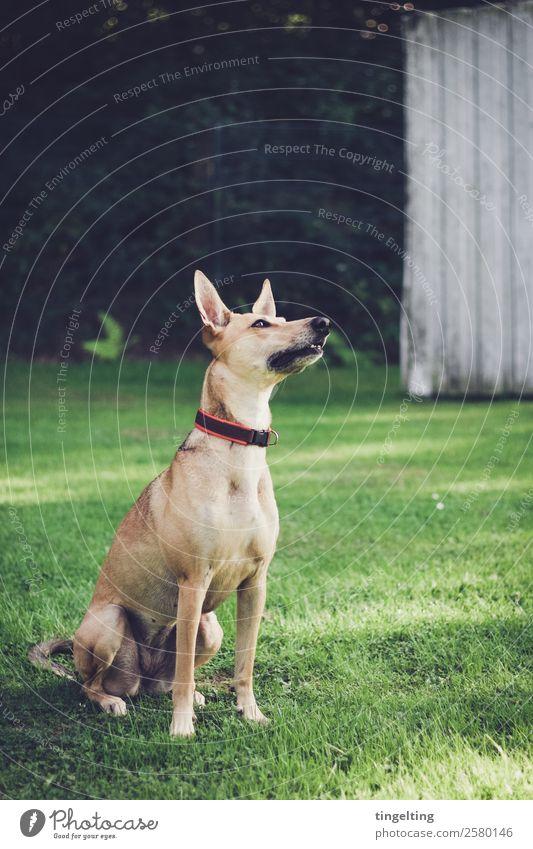 aufmerksam Tier Haustier Hund 1 warten gelb gold grün Fröhlichkeit Zufriedenheit achtsam Hundetraining Hundesport Wachsamkeit beobachten Hundeplatz Rasen Wiese
