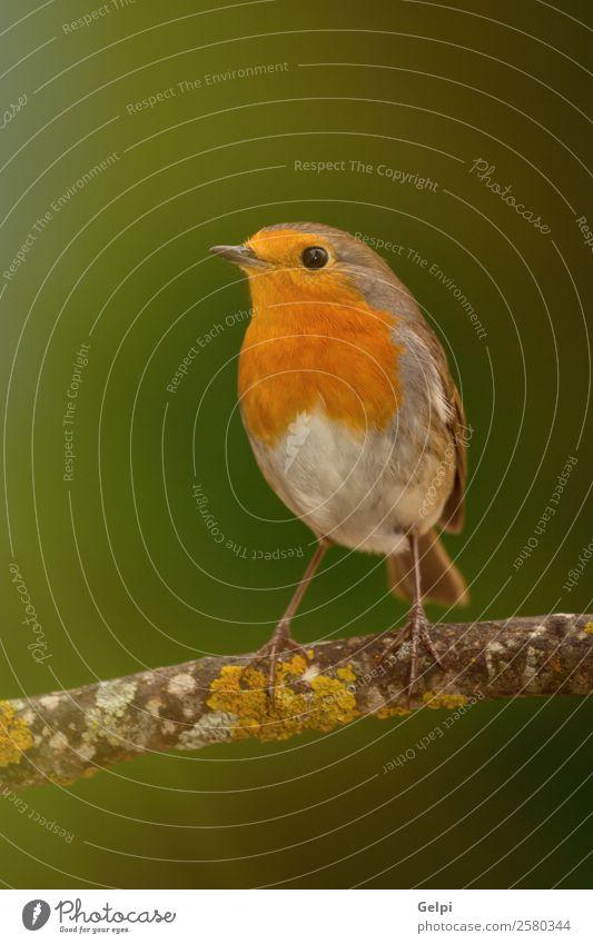 Hübscher Vogel schön Leben Mann Erwachsene Umwelt Natur Tier Blume Moos klein natürlich wild braun grün weiß Tierwelt Rotkehlchen allgemein gehockt Hintergrund