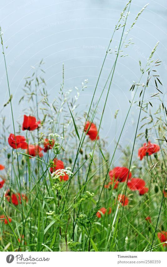Mohnblumen zum Geburtstag Umwelt Natur Urelemente Wasser Pflanze Gras Mohnblüte Wiese Blühend Wachstum natürlich blau grün rot Gefühle Lebensfreude Neckar