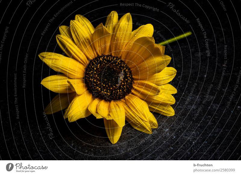 Sonnenblume Feste & Feiern Trauerfeier Beerdigung Regen Pflanze Blume Blüte Stein Blühend leuchten liegen verblüht authentisch dunkel frisch nass schön gelb