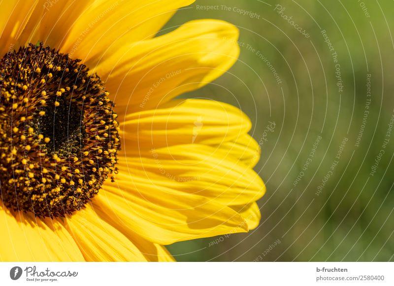 Sonnenblume Sommer Garten Landwirtschaft Forstwirtschaft Pflanze Blatt Blüte Nutzpflanze Freundlichkeit Fröhlichkeit gelb grün Optimismus Kraft Warmherzigkeit