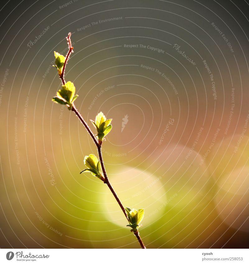 leuchten Schönes Wetter Pflanze Blatt Grünpflanze Garten Park Punkt Lichtpunkt zart grün leuchtende Farben Blattknospe Frühling aufwachen grünen Wachstum frisch