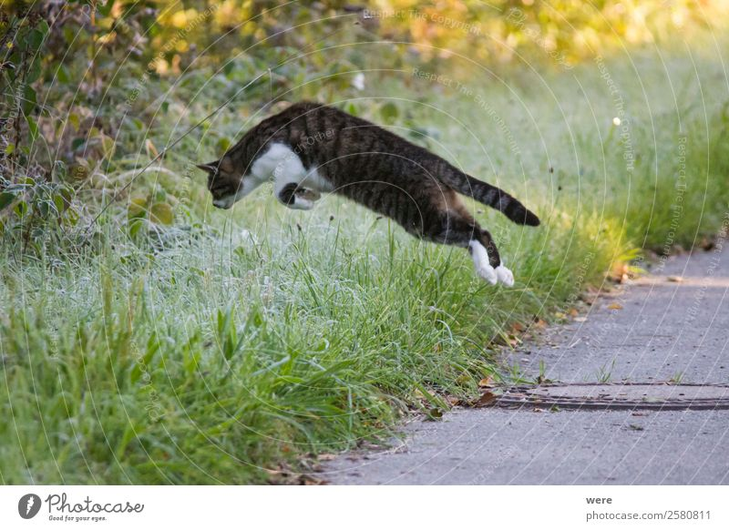 Cat on Mouse Hunt leaps in maturing covered grass Natur Tier Haustier Katze 1 fangen fliegen Fressen Jagd springen weich animal cat cat's hair copy space cuddly