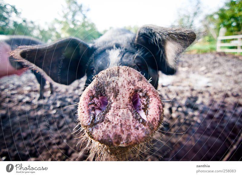 Pig Natur schön Tier Umwelt Deutschland dreckig Nase Neugier Idylle Tiergesicht Geruch Schwein Nutztier Borsten Nahaufnahme Schweineohr