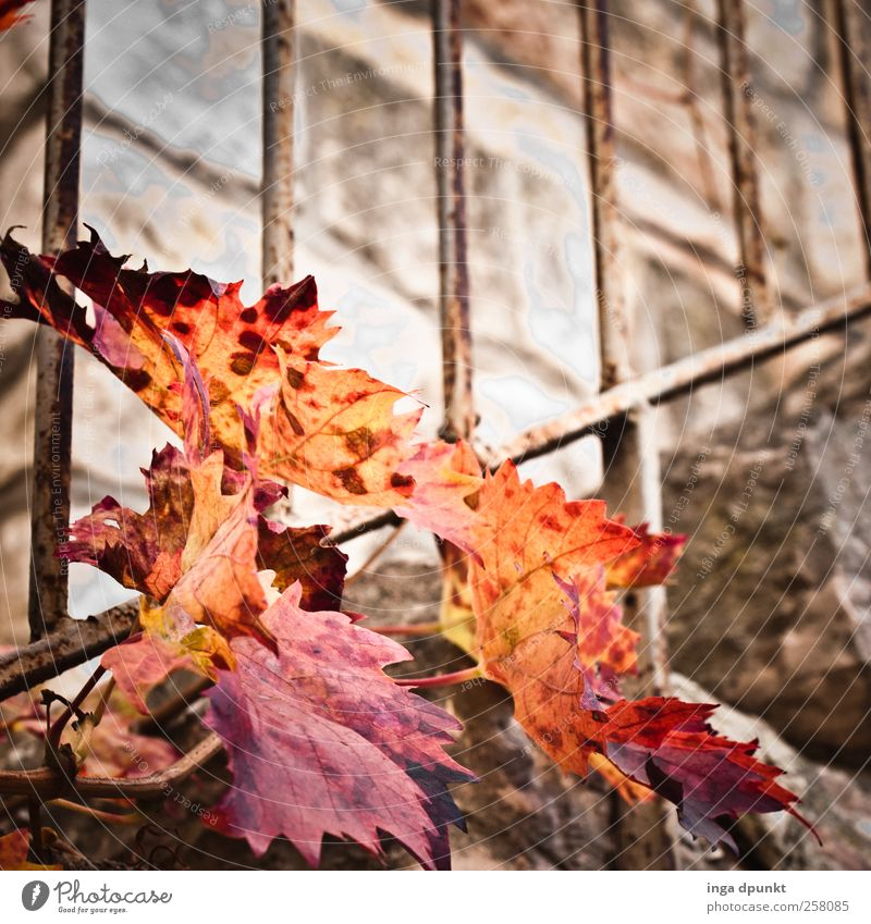 Vergänglich Natur rot Pflanze Blatt gelb Herbst Wand Umwelt Landschaft Garten Mauer Park Treppe Sträucher Vergänglichkeit verfallen