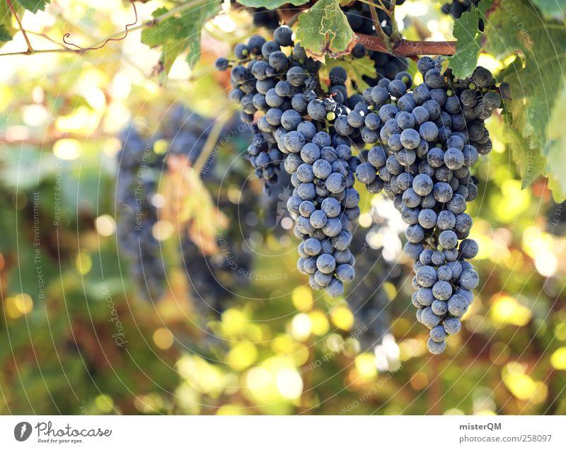 Sonnengereift. Umwelt Natur Landschaft Pflanze ästhetisch Wein genießen Genusssucht Weinberg Weintrauben Weinlese Weinbau Landwirtschaft Italien Ernte