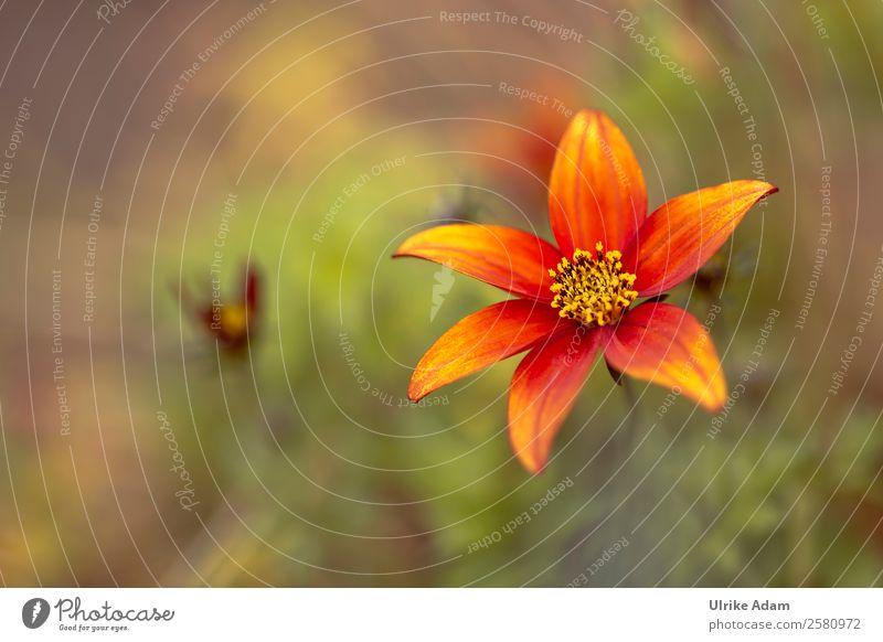 Orange Blume Design Wellness Spa Dekoration & Verzierung Tapete Valentinstag Muttertag Natur Pflanze Sommer Herbst Blüte Schmuckkörbchen Garten Park Blühend