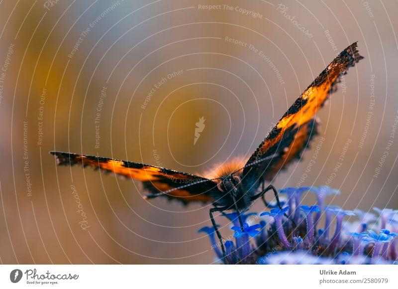 Der große Fuchs ( Nymphalis polychloros ) Tierporträt Gegenlicht Sonnenlicht Hintergrund neutral Textfreiraum oben Textfreiraum links Makroaufnahme Nahaufnahme