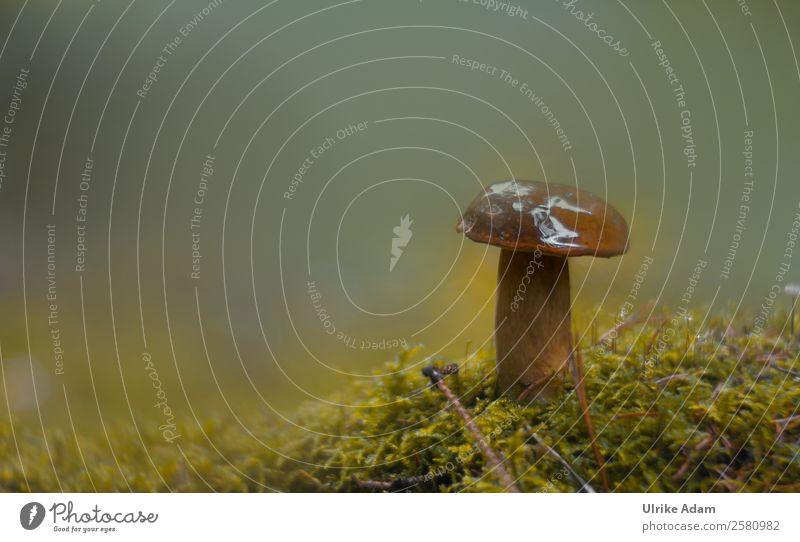Steinpilz - Natur Gesunde Ernährung Pflanze grün Erholung ruhig Wald Leben Herbst natürlich braun Design frisch Erde authentisch weich