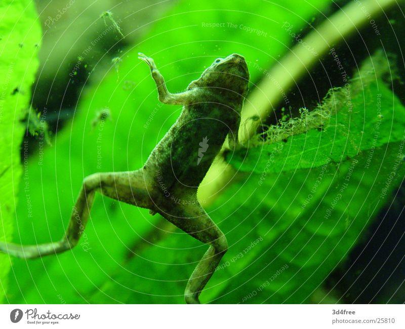 Frosch bleibt Frosch. grün Pflanze Bauch Aquarium Fensterscheibe