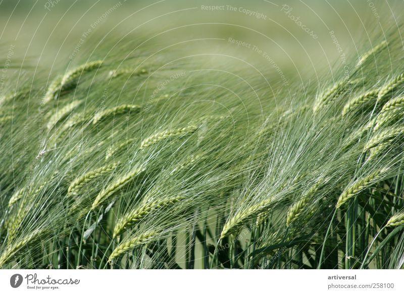 Ähren im Frühsommer Natur Tier Sommer Pflanze Nutzpflanze Feld Gefühle Weizen Weizenfeld Weizenähre Grünpflanze grün Farbfoto Außenaufnahme Nahaufnahme