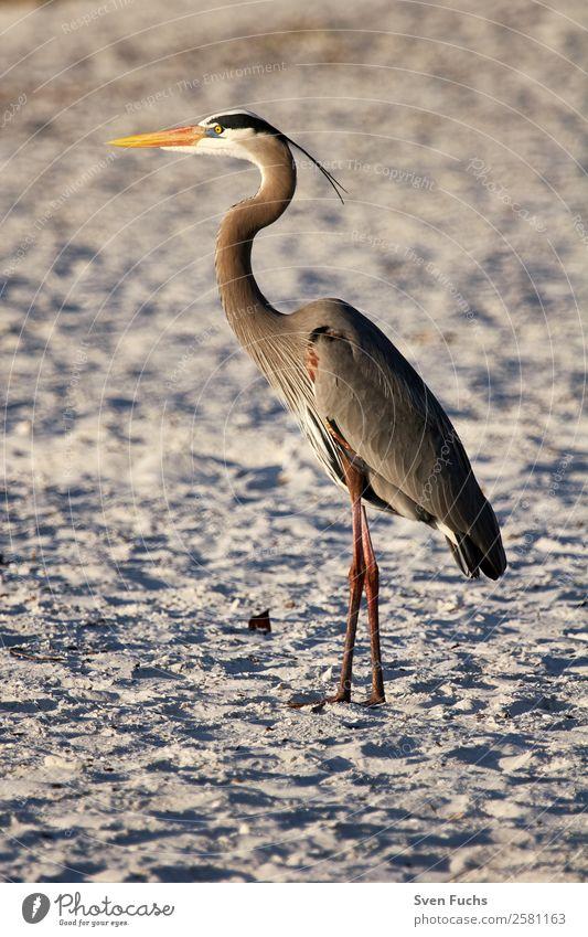 Graureiher (Ardea cinerea) im Abendlicht Strand Meer Natur Tier Wildtier Vogel 1 beobachten ästhetisch braun grau orange Reiher Florida USA Amerika