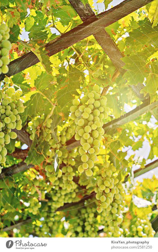 Nahaufnahme einer frischen Traube weißer Trauben auf dem Feld Frucht Sommer Sonne Natur Pflanze Herbst Baum Blatt Wachstum natürlich grün rot Tradition