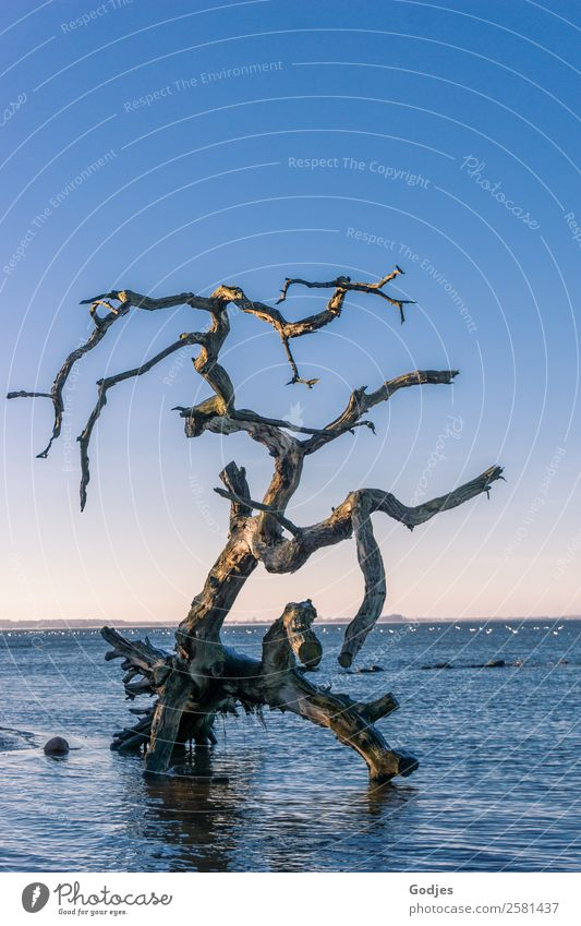 alter verwitterter Baum im Wasser Natur ruhig Winter Strand dunkel Küste außergewöhnlich Horizont Wellen liegen Kraft stehen Schönes Wetter