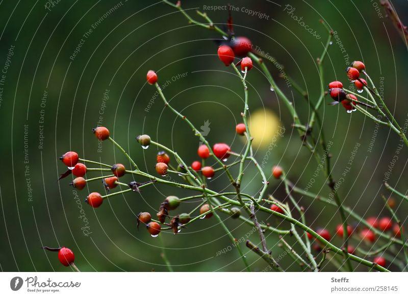 Hagebuttenrausch Natur Pflanze Farbe dunkel Herbst Garten Regen Sträucher nass Wandel & Veränderung Vergänglichkeit Rose Teepflanze November Farbfleck
