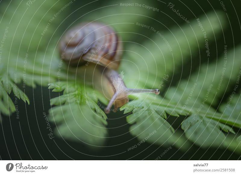 Augen voraus Umwelt Natur Pflanze Tier Farn Blatt Schnecke Weichtier 1 Wege & Pfade Werbung Ziel Fühler langsam krabbeln Kontrast berühren Farbfoto