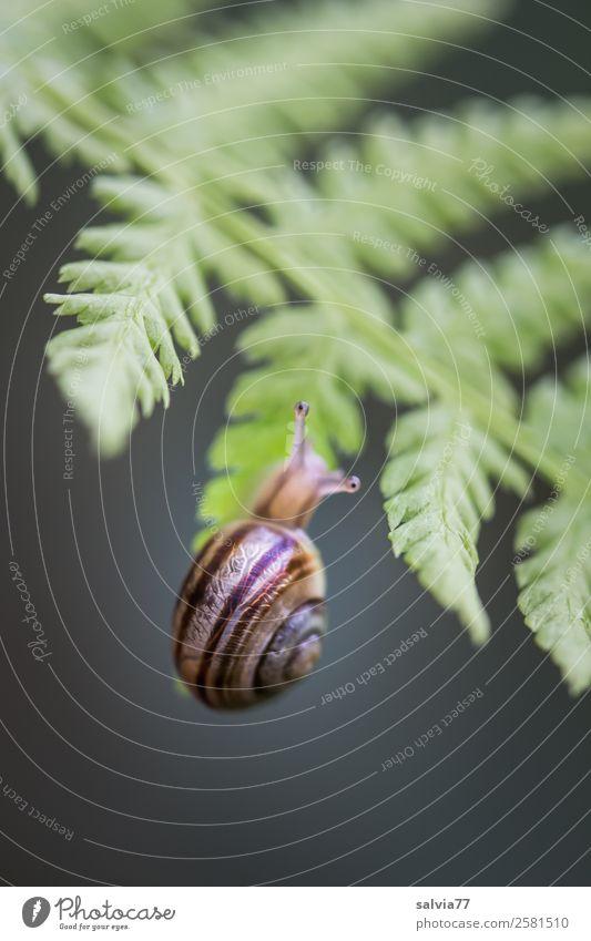 Schnecken-Klimmzug Natur Pflanze Farn Blatt Wildpflanze Wald Tier Hainbänderschnecke 1 hängen klein grau grün schwarz Geschwindigkeit Mobilität Wege & Pfade