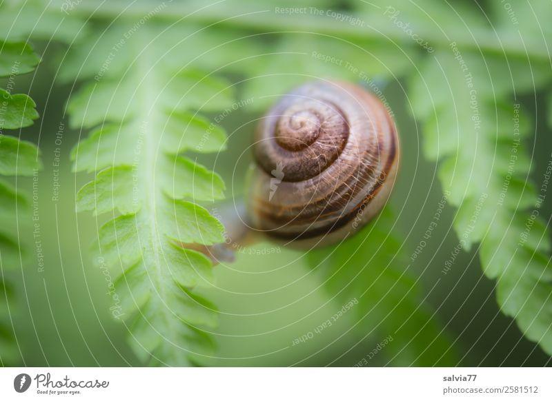 zwischen Farnblättern Umwelt Natur Pflanze Blatt Grünpflanze Wildpflanze Tier Schnecke 1 Schutz Symmetrie Wege & Pfade krabbeln Spirale Kontrast