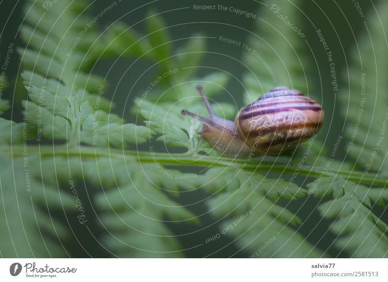 Aus dem Häuschen Natur Pflanze Tier Blatt Wildpflanze Echte Farne Wald Schnecke Weichtier Schneckenhaus klein natürlich schleimig braun grün Mobilität Schutz