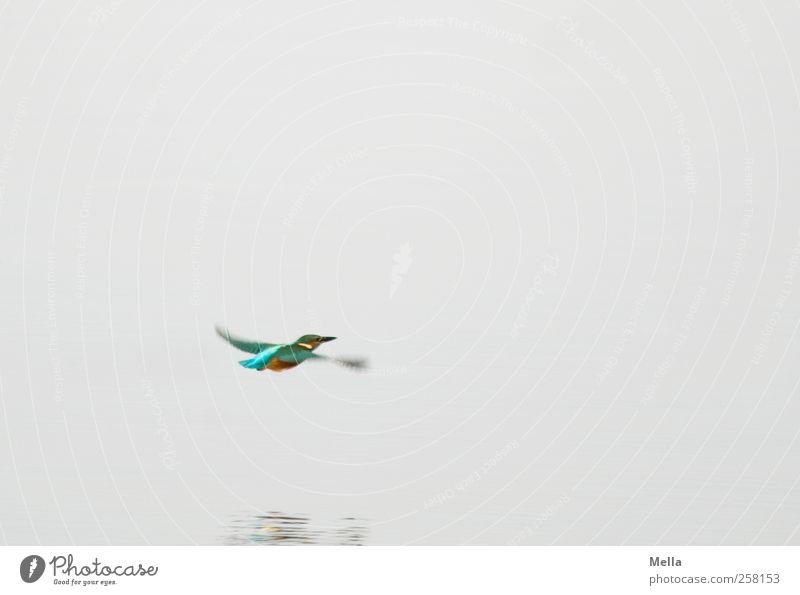Farben Umwelt Natur Tier Wasser Teich See Wildtier Vogel Eisvögel 1 Bewegung fliegen frei hell klein natürlich Geschwindigkeit mehrfarbig grau Freiheit Farbfoto