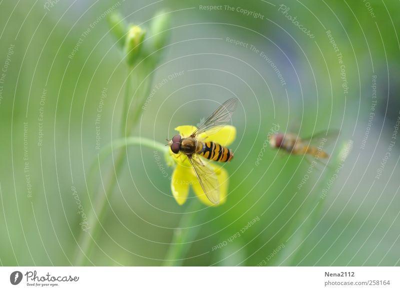 """""""Meins!"""" Natur Pflanze Tier Frühling Sommer Blüte Garten Wiese Feld Fliege Biene Flügel 2 fliegen gelb Schweben Schwebfliege frei gestreift Sumpf-Dotterblumen"""