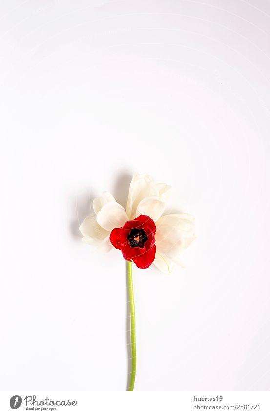 Blumiger Hintergrund mit roten und weißen Tulpen elegant Stil Design Valentinstag Natur Pflanze Blume Blatt Blumenstrauß natürlich oben Liebe Farbe Ranunculus