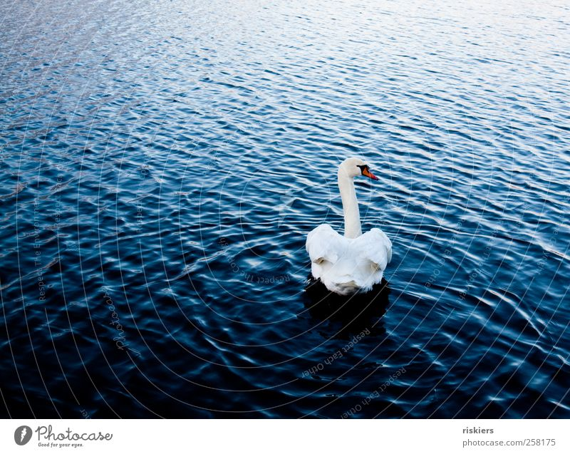 never look back Natur blau Wasser weiß Tier Einsamkeit ruhig See elegant Schwimmen & Baden Wildtier ästhetisch beobachten Vergangenheit Wachsamkeit Schwan