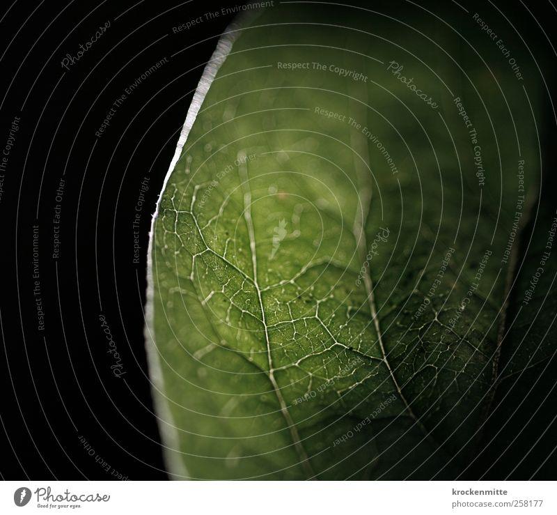 gut vernetzt Natur Pflanze Blatt grün schwarz Botanik Umwelt Netzwerk Blattadern Blattgrün Blattfaser Blattschatten Photosynthese pflanzlich Pflanzenteile
