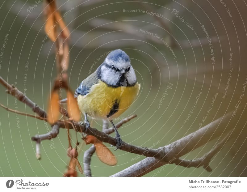 Blaumeise im Herbst Natur Tier Sonnenlicht Baum Blatt Herbstlaub Äste Zweige u. Äste Wildtier Vogel Tiergesicht Flügel Krallen Meisen Auge 1 beobachten leuchten