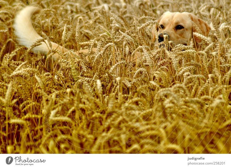 Mimikry Natur Pflanze Hund Sommer Freude Tier Landschaft Feld natürlich Schutz Getreide Haustier Tarnung Versteck Nutzpflanze