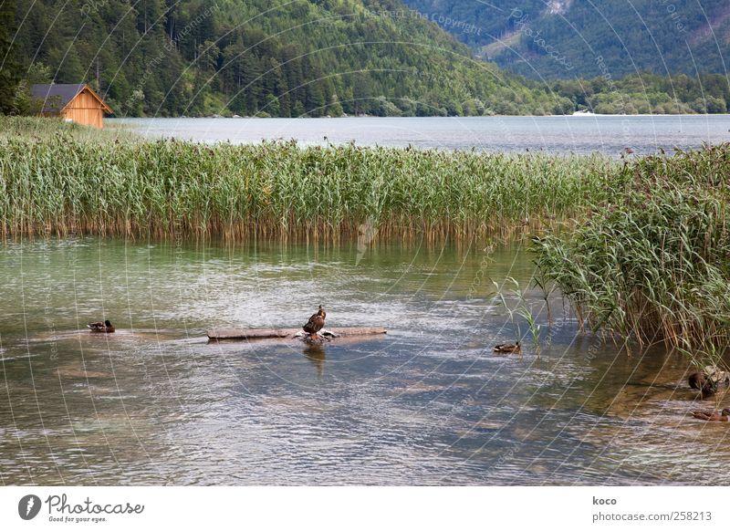 Hütte am See Natur Landschaft Wasser Schönes Wetter Schilfrohr Wald Wellen Küste Seeufer Bucht Ente 3 Tier Holz Schwimmen & Baden Flüssigkeit nass natürlich