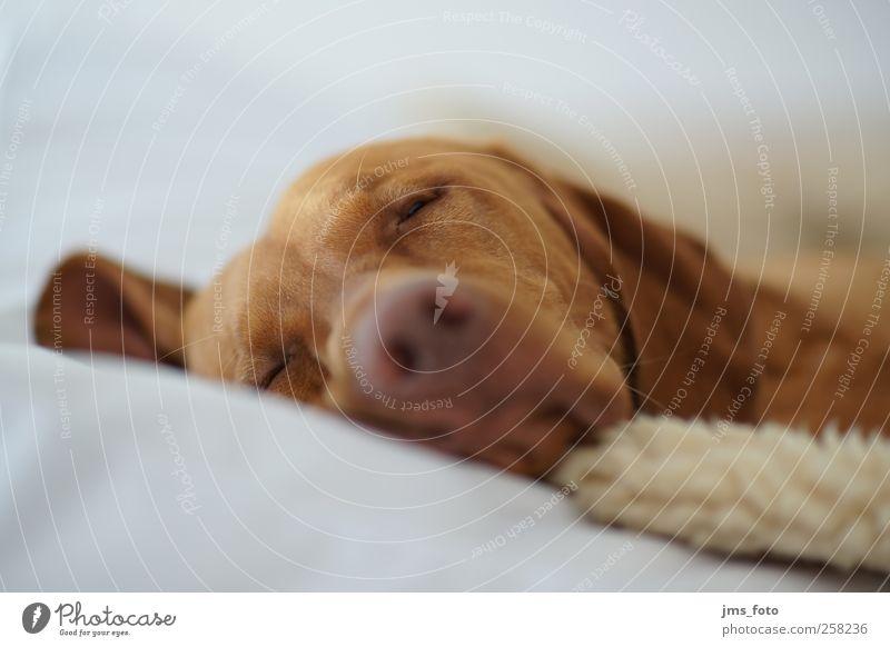 schlafender Hund Tier Haustier 1 Gefühle ruhig Schlaf Farbfoto Innenaufnahme Menschenleer Hintergrund neutral Licht Schwache Tiefenschärfe Tierporträt Blick