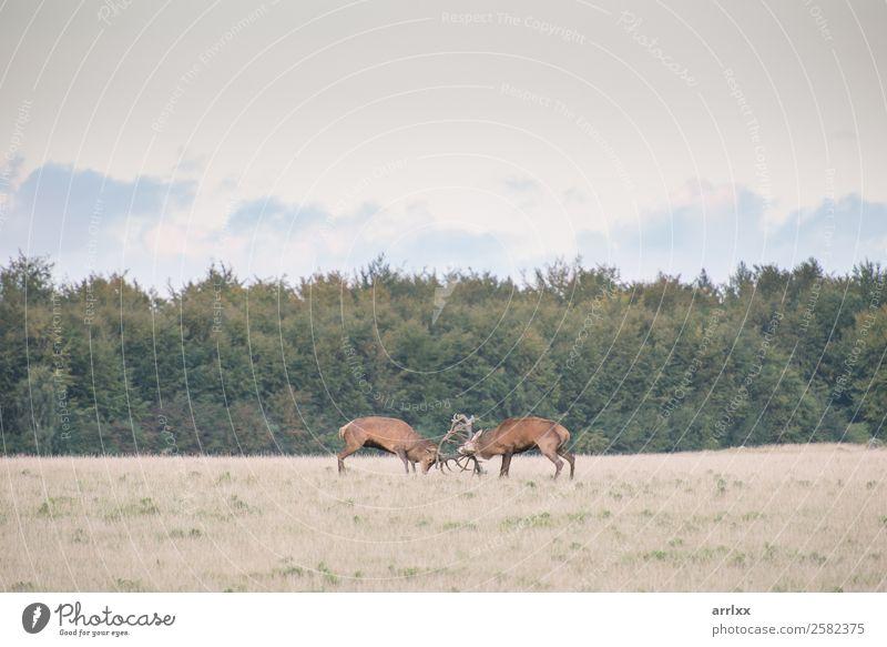 Rothirsch, Cervus elaphus, Männer im Kampf Expedition Natur Landschaft Tier Herbst Wald Wildtier 2 natürlich rot Gefühle Fernweh Abenteuer Aggression Senior