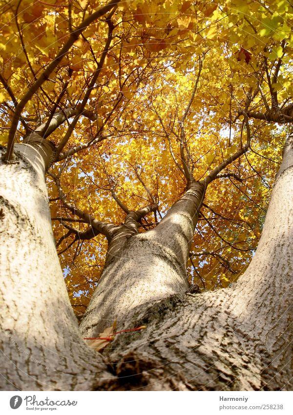 Baumkrone Natur Pflanze Herbst Schönes Wetter Wald braun gelb Sicherheit Schutz Geborgenheit Hoffnung Idylle Baumstamm Baumrinde Blätterpracht Farbfoto