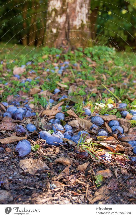 Zwetschgenwiese Frucht Bioprodukte Vegetarische Ernährung Gartenarbeit Landwirtschaft Forstwirtschaft Herbst Baum Gras Nutzpflanze Wiese fallen liegen Pflaume