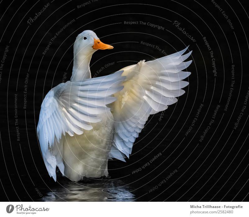 Weiße flatternde Ente Natur Wasser weiß Tier schwarz gelb Bewegung See orange Vogel fliegen leuchten glänzend elegant Wildtier ästhetisch