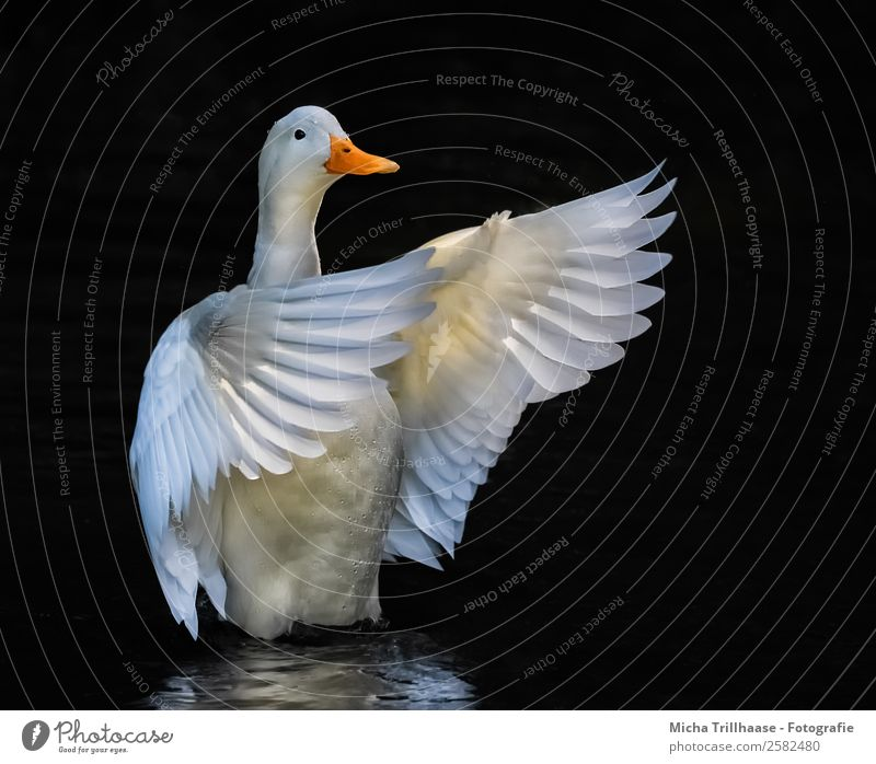 Weiße flatternde Ente Tanzen Dirigent Natur Tier Wasser Wassertropfen Sonnenlicht See Wildtier Vogel Tiergesicht Flügel Schnabel Feder 1 Bewegung fliegen