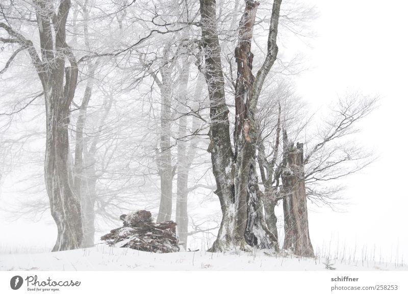 Baumloben | schöne gerade Buchen Natur Pflanze Winter schlechtes Wetter Eis Frost Schnee Schneefall Feld Wald kalt weiß Wäldchen Schneelandschaft malerisch