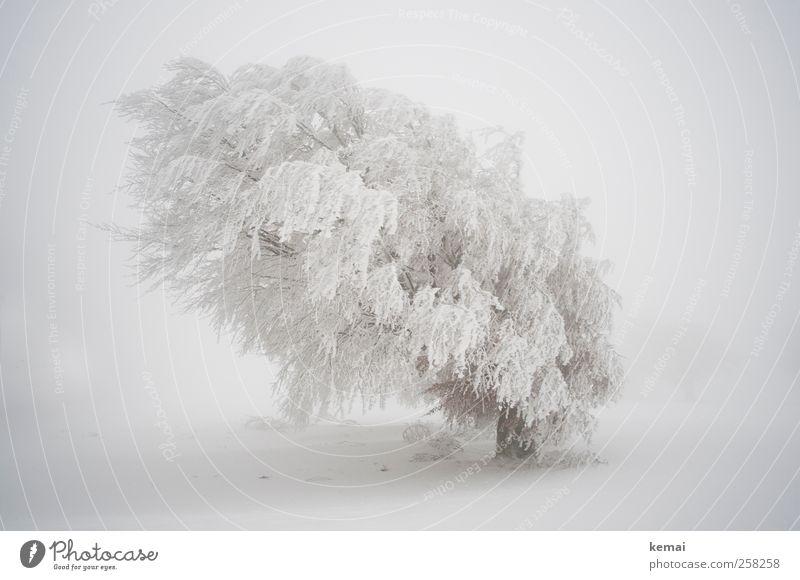 Baumloben | Weißer Riese Umwelt Natur Landschaft Pflanze Winter schlechtes Wetter Sturm Nebel Eis Frost Schnee Schneefall Grünpflanze Wildpflanze Buche Feld