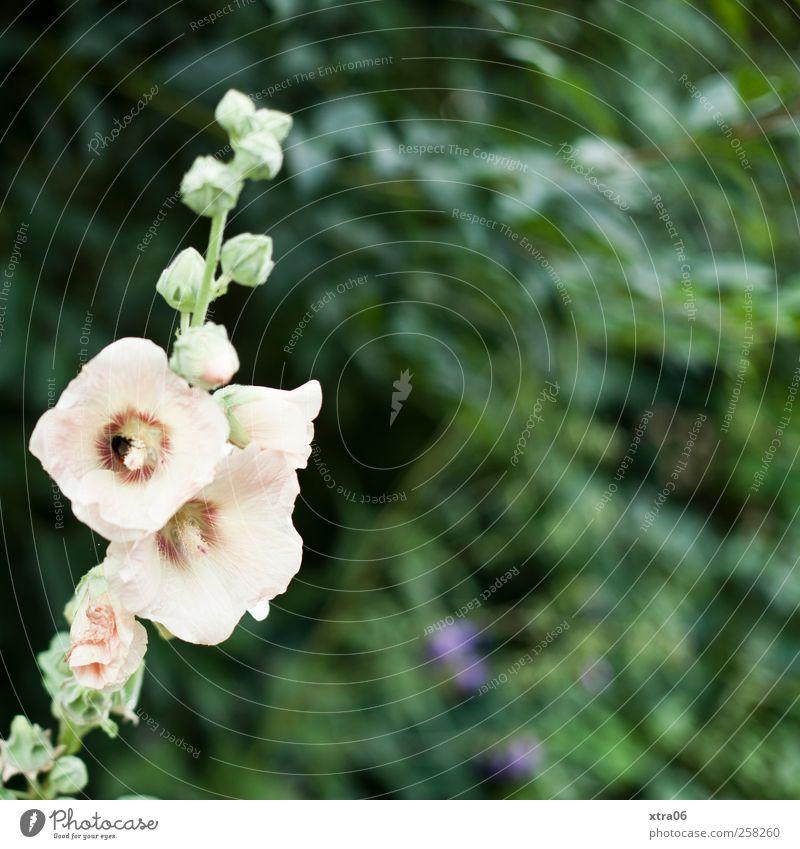 weiß in grün Umwelt Natur Pflanze Blume Blüte Farbfoto Außenaufnahme