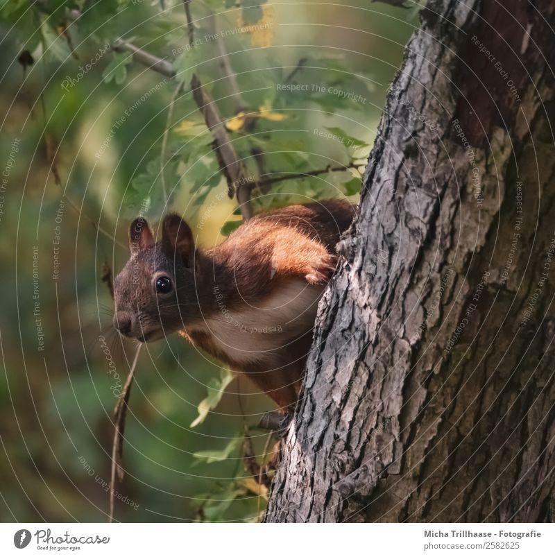 Neugieriges Eichhörnchen am Baumstamm Natur Tier Sonnenlicht Schönes Wetter Blatt Wald Wildtier Tiergesicht Fell Pfote Ohr Auge 1 beobachten Blick Fröhlichkeit
