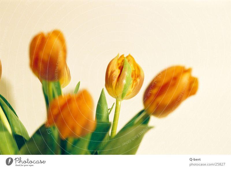 Tulpen Blume Stil Blüte Fototechnik Detailaufnahme Natur Blumenstrauß Farbe