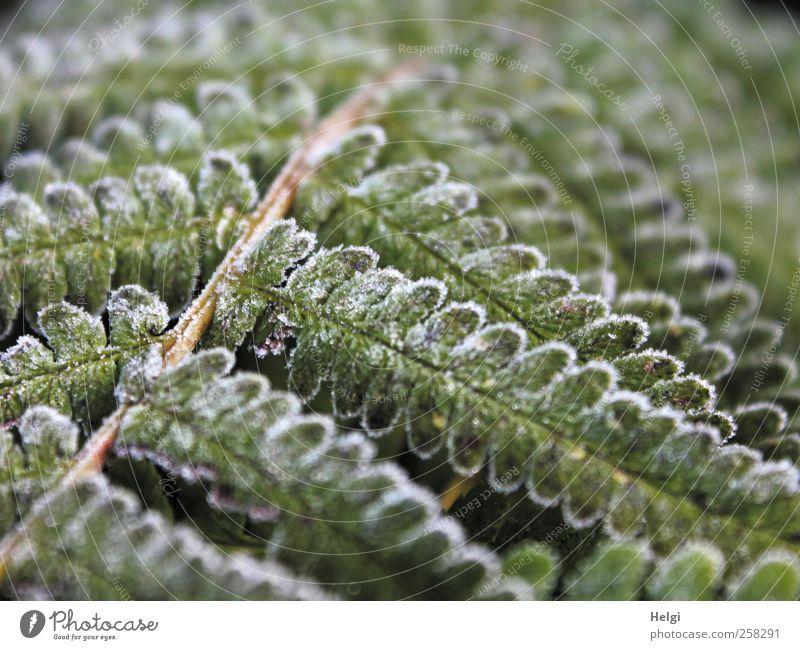 winterlich angehaucht... Natur weiß grün Pflanze Blatt Winter Umwelt kalt braun Eis außergewöhnlich natürlich Wachstum ästhetisch Frost einzigartig