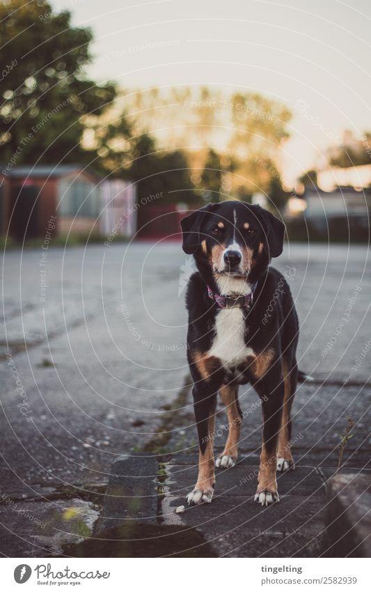 Hofhund Natur Hund weiß Haus Tier schwarz braun Platz Haustier Fell Hütte Wachsamkeit selbstbewußt Tiergesicht Marktplatz Pfote